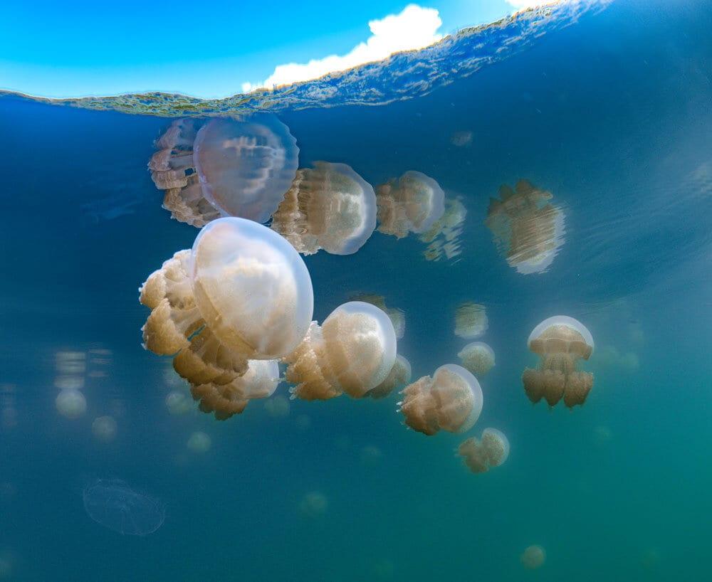 Jelly Fish, Palau, Kids Sea Camp, Family Vacations
