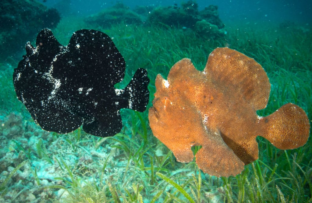 Frogfish, Philippines, Family DIve Vacations