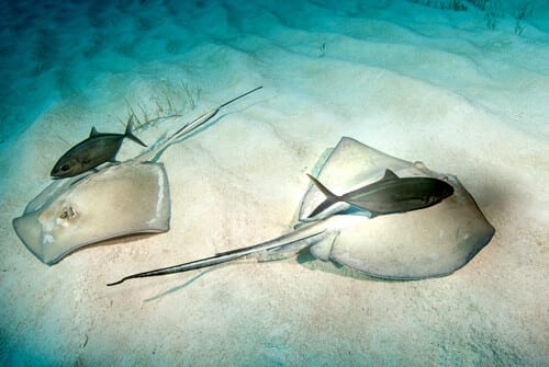 Stingrays, Kids Sea Camp, Family Dive Vacations